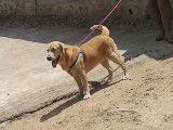 Labrador male dog for sale