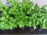 Basil Herbal plants