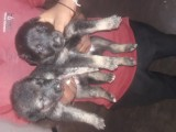 Lionshephered puppies for sale