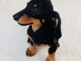 A Beautiful, Adorable and Cute Dachshund puppy  looking for his loving FOREVER  home